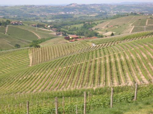 Cotta Vineyard